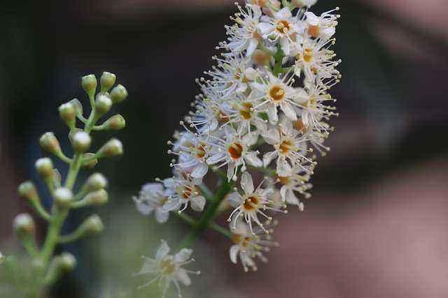 Άνθη δάφνης