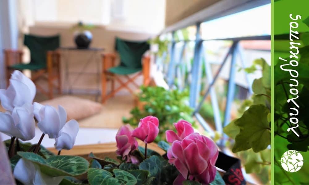 κυκλάμινο σε μπαλκόνι